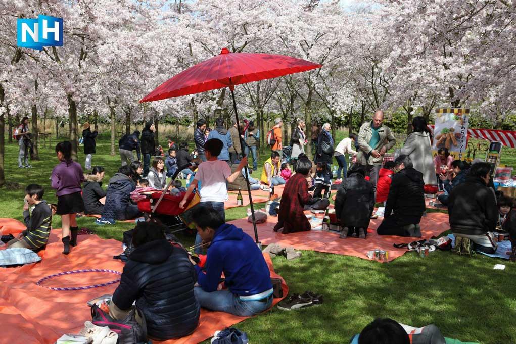 Cherry-Blossom-Amstelveen